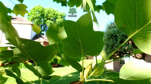 A Tulip Poplar Tree – Identified Another One