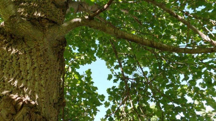 View from below of the tulip poplar tree
