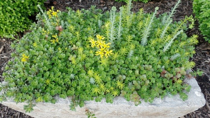 Year old sedum sod planted in a hypertufa pot or trough