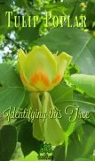 Great hardwood tree for your lawn. Tulip poplar or liriodendron tulipifera