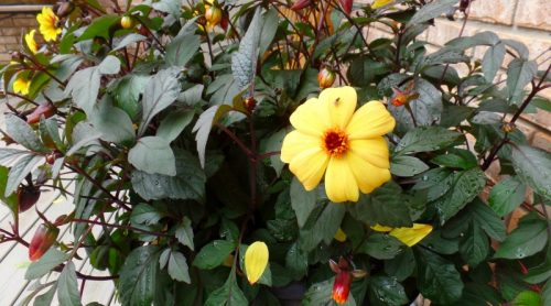 Plant Pick: Mystic Illusion Dahlia