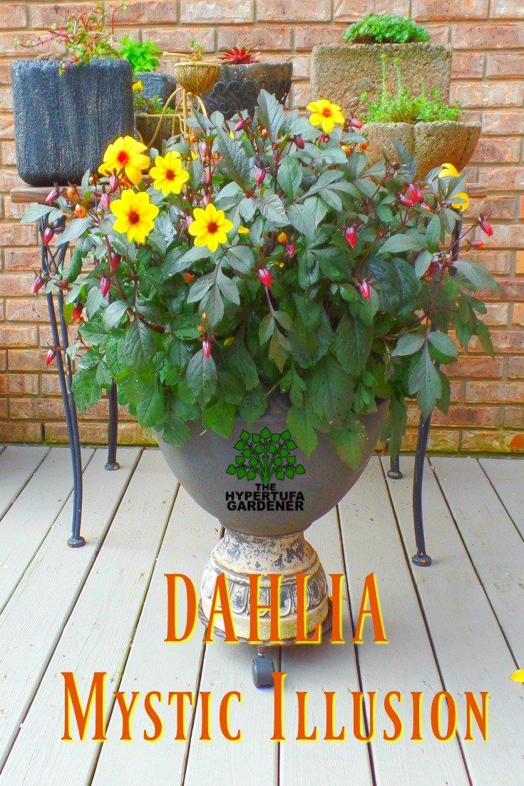 Plant Pick: Beautiful Dahlia Mystic Illusion in a container
