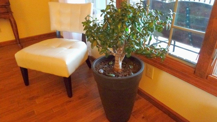 Planting the huge succulent Jade Tree