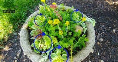 Baby Sunrose in hypertufa with assorted succulents