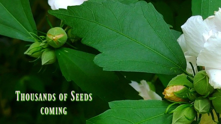Part of Rose of Sharon Tree care is taking care of the seeds