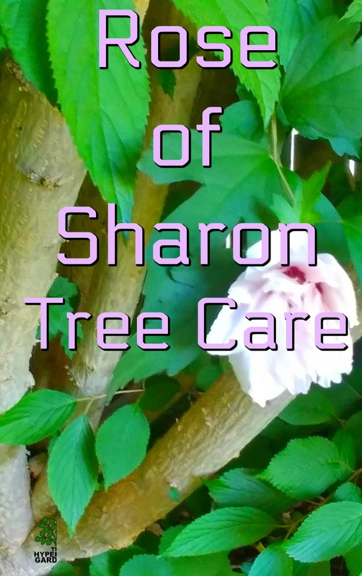Rose of Sharon Tree Care. I had to learn quickly when we moved into a house with a Rose of Sharon Fence.