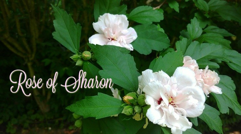 Rose of Sharon Tree Care – I Have A Living Fence!