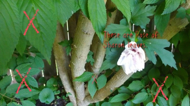 Rose of Sharon tree care - I have a lot of invader trees growing in the hedge.