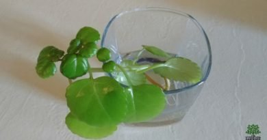 Swedish Ivy care - So easy to take cuttings and make more plants