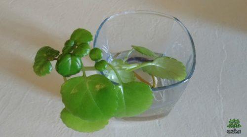 Simple & Easy Houseplant – Swedish Ivy Care