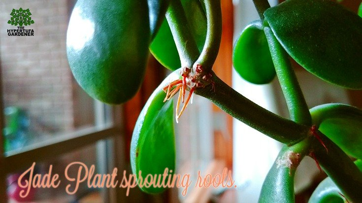 This Jade Plant is sprouting roots. Maybe it's searching for water_