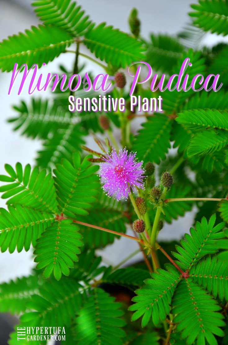 Touch Me Not! Mimosa Pudica - Sensitive Plant