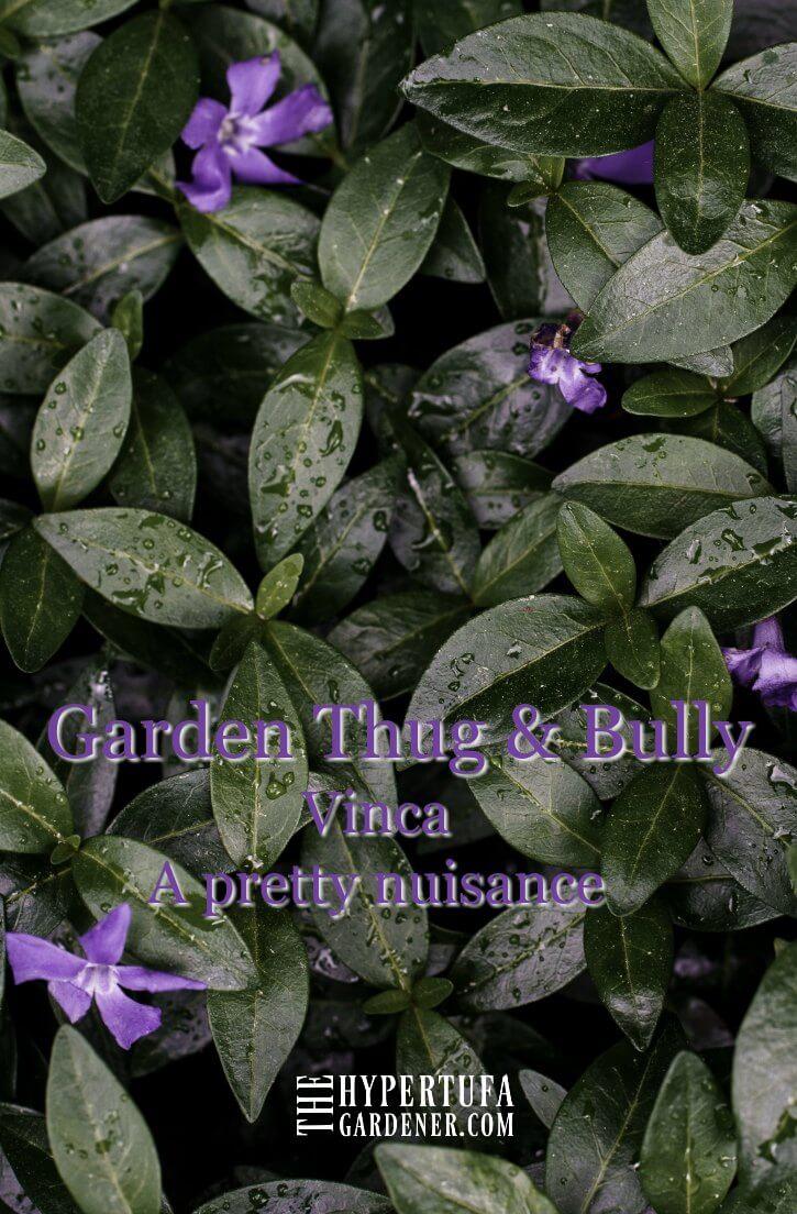 image of beautiful vinca blooming