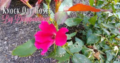 Knock Out Roses - Big Disappointment