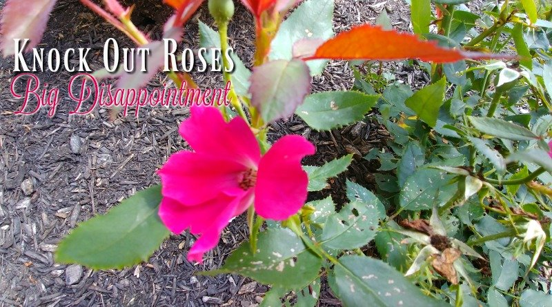 A Newbie With Knock Out Roses Surrenders To Shovel!