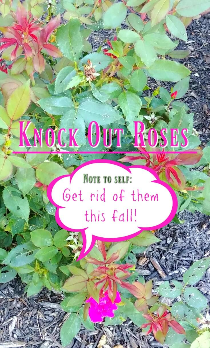 Knock Out Roses - I want to get rid of them this fall. Here's why on my post. (2)