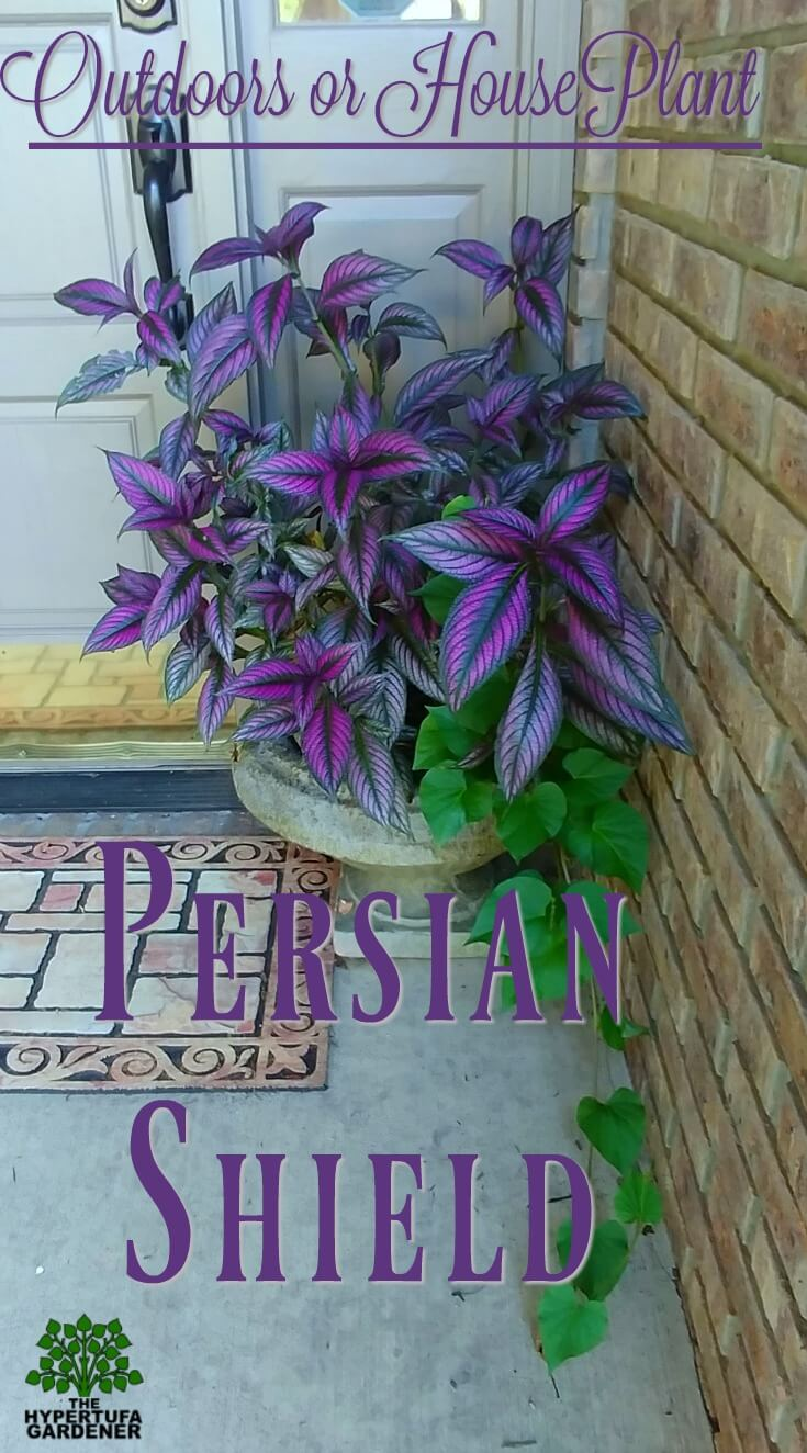 Persian Shield - Outdoors for stunning color or indoors for color all winter