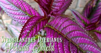 Persian Shield – That Pretty Purple Plant