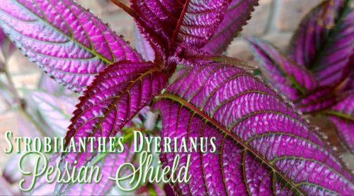 Persian Shield – That Pretty Purple Plant