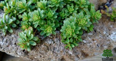 Sedum spurium Immergrunchen - Perfect ground cover sedum