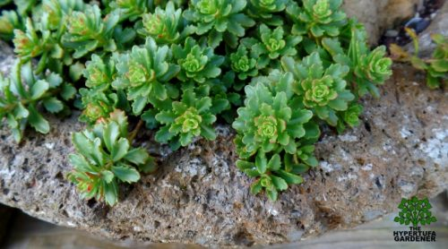 Sedum spurium Immergrunchen – Is It The Perfect Ground Cover Sedum?