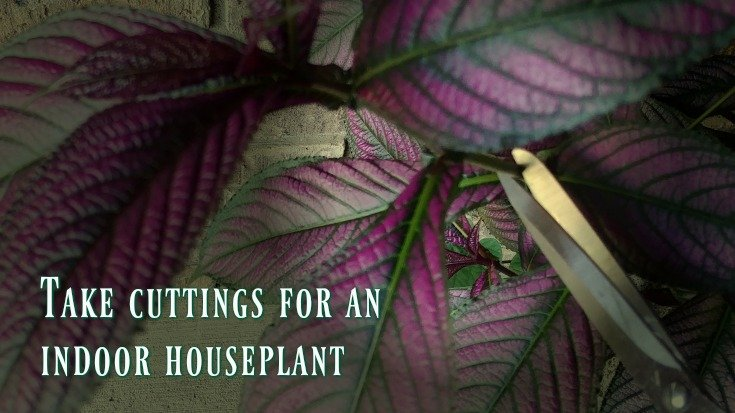 Take cuttings of your Persian Shield for an indoor houseplant over winter
