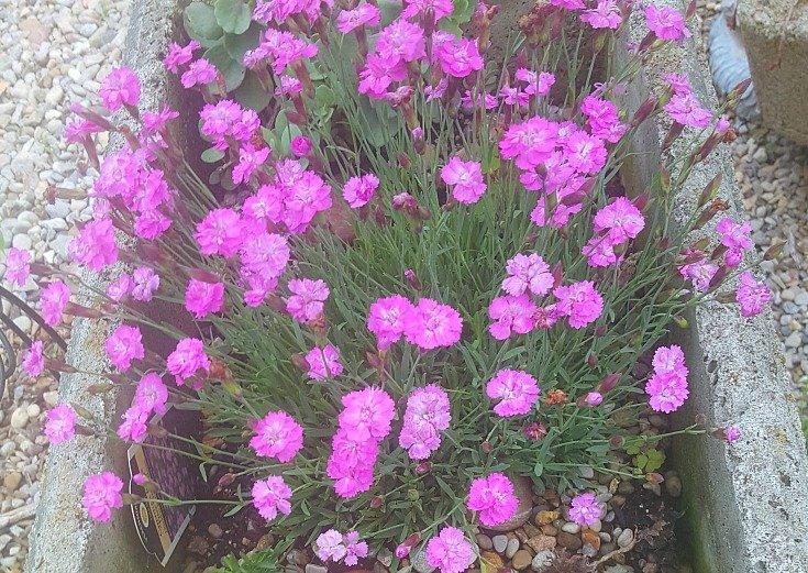 Dianthus in hypertufa trough - How to build a crevice garden