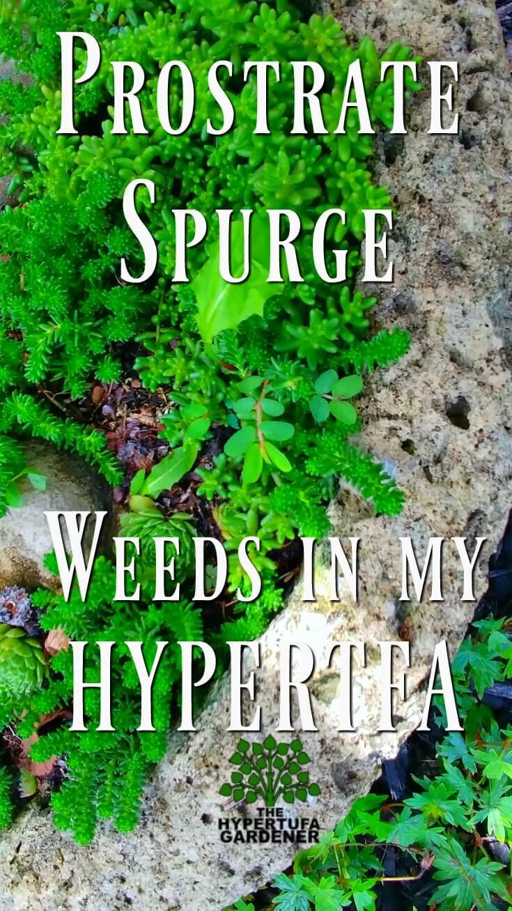 Prostrate Spurge - Weeds in My Hypertufa