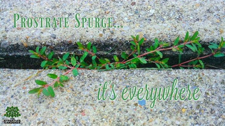 Prostrate spurge is everywhere. It grows in every nook and cranny.