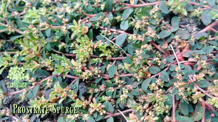 Prostrate spurge, look at all the flowers and all the potential to seed!
