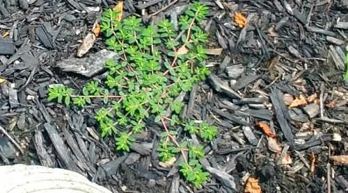 Prostrate Spurge or Spotted Spurge – What A Pain in My Pots!