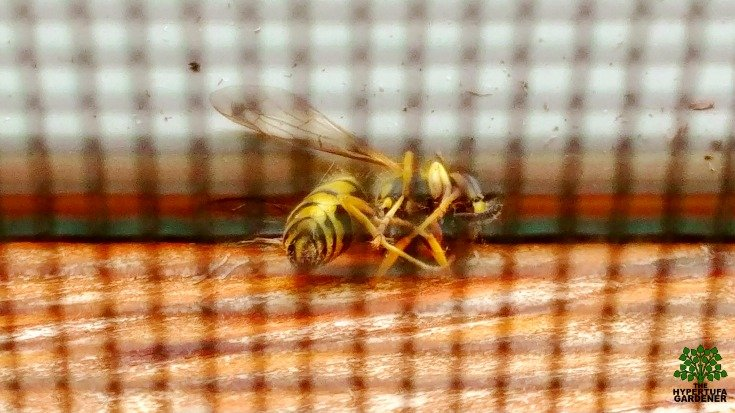Yellow jacket dead inside the screen at my window
