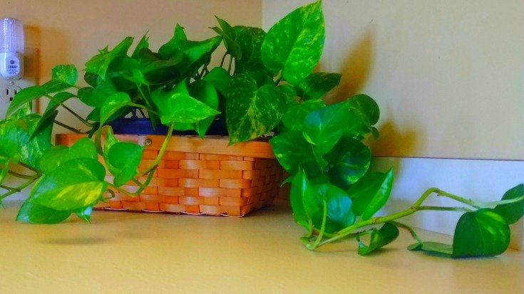 Golden pothos - Indoor plant care - Best and easiest for pollution