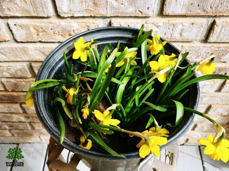 I dug up my daffodils while in bloom - totally against the rules for transplanting perennials