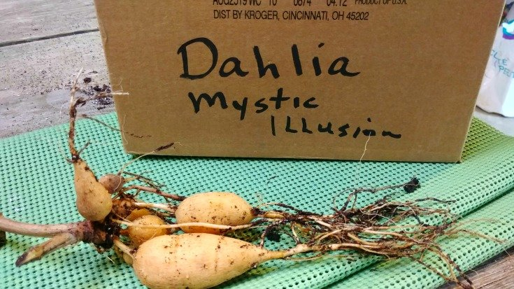I will cut off the hairy roots and store the dahlia tubers in a cardboard box