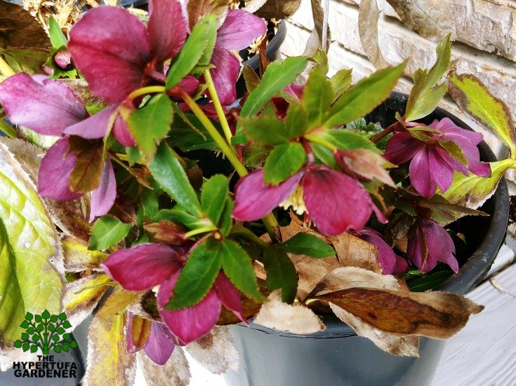 Transplanting perennials - My poor hellebore in a bucket for weeks