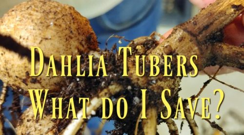 How To Save & Store My Dahlia Tubers – My First Time