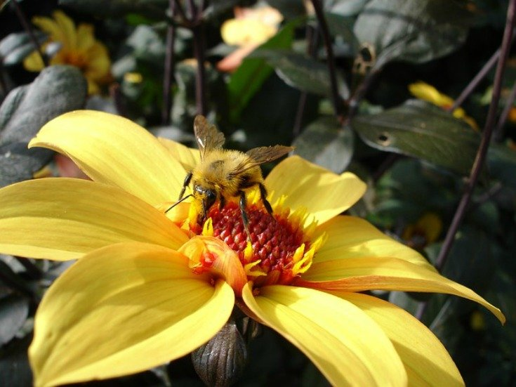 I hope to have these again next year after saving my dahlia tubers