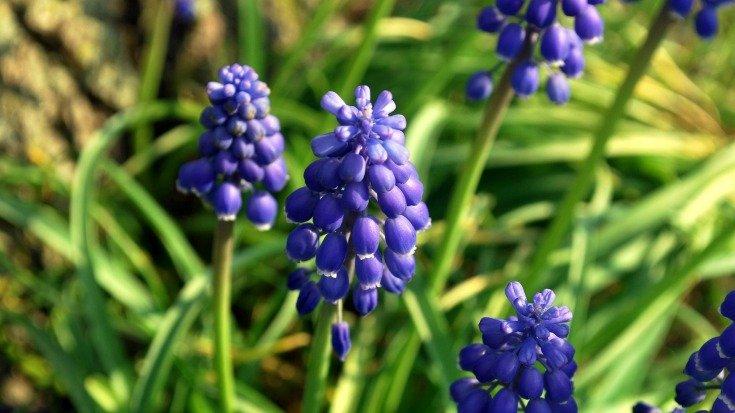 grape hyacinth - growing bulbs in hypertufa pots