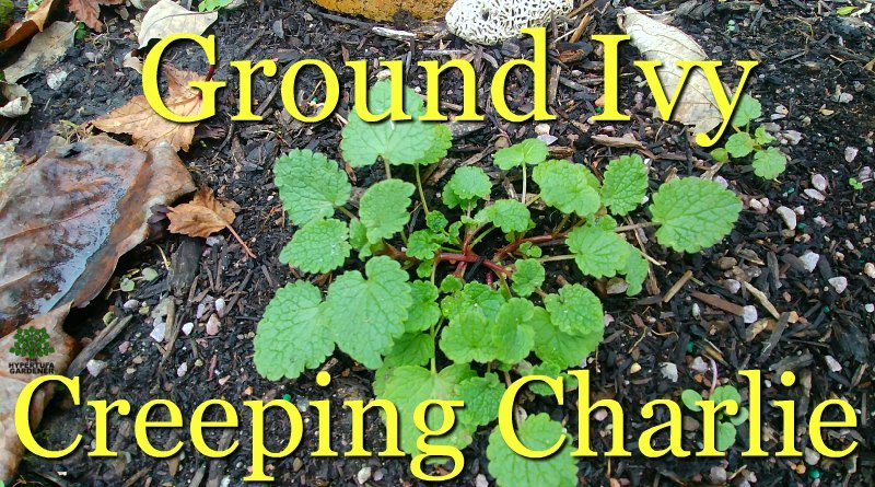 How Do I Stop Ground Ivy Weeds – It's Green All Winter