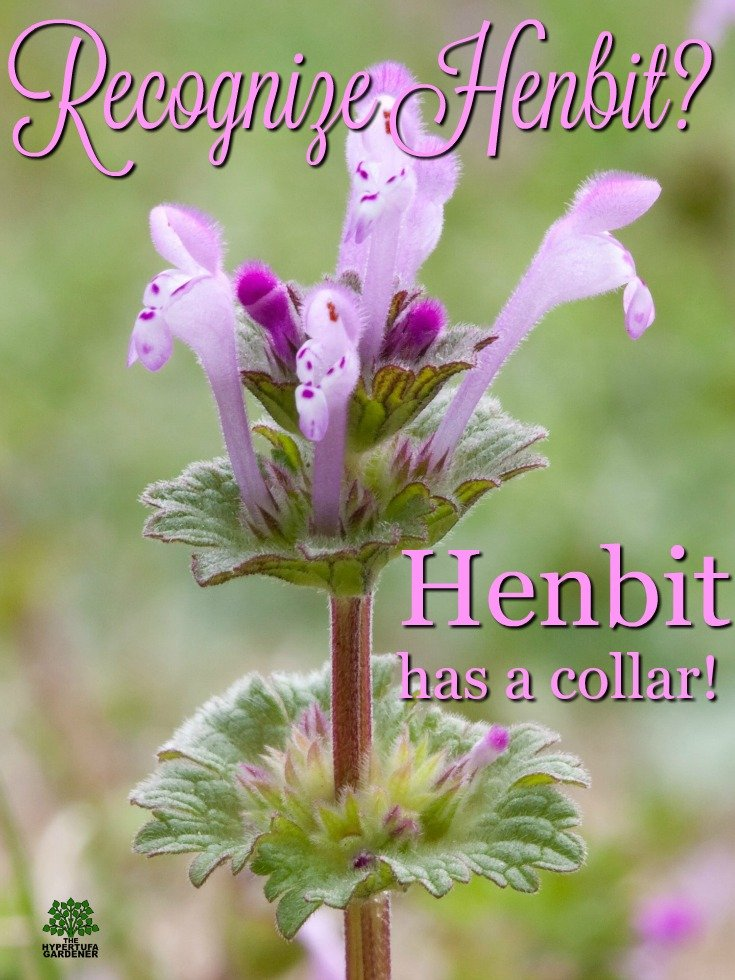 Recognizing henbit