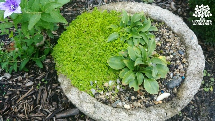 Tiny hosta in a hypertufa pot