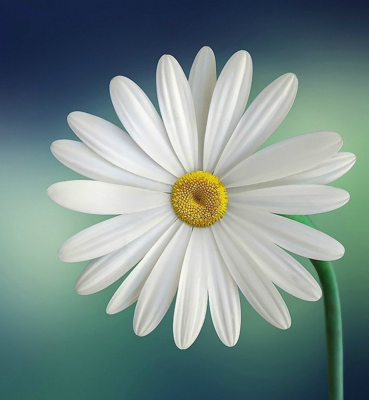 Daisy symbolizes purity, innocence, cleanliness