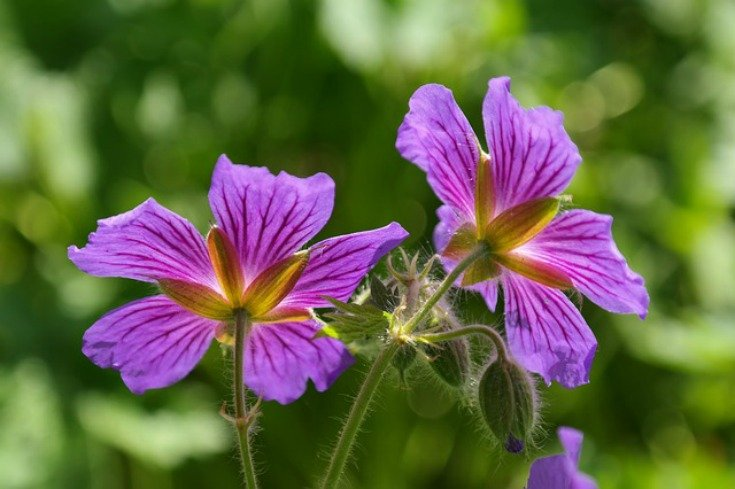 Geranium or Cranesbill - A symbol of stupid or foolish