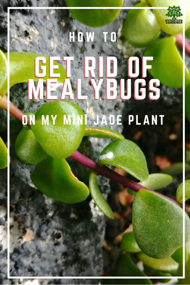 Mealybugs on a houseplant