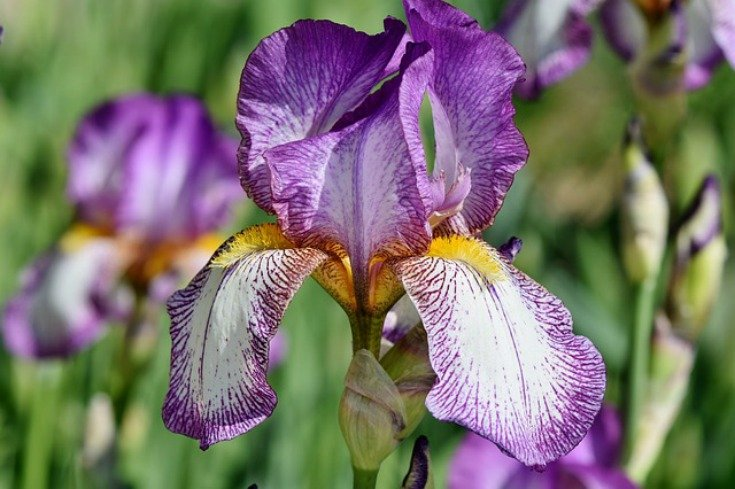 Iris - Faith, valor, wisdom