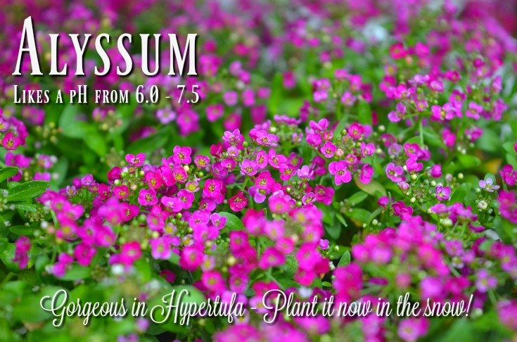 Measuring the pH in your containers - Alyssum likes slightly alkaline