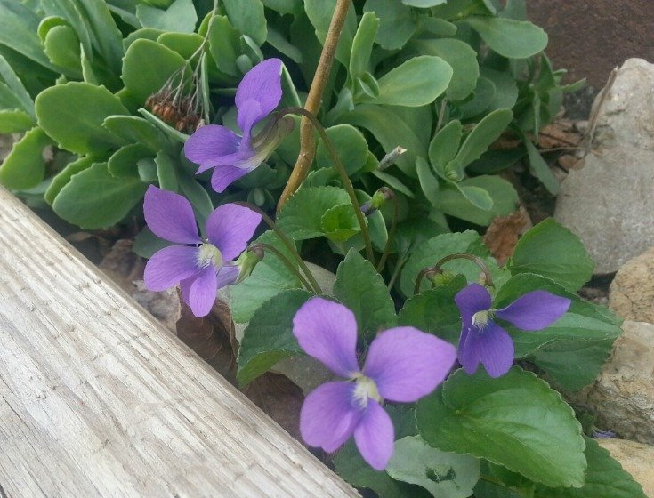 Violets - symbolize faithfulness - and they faithfully come up by the hundreds each spring