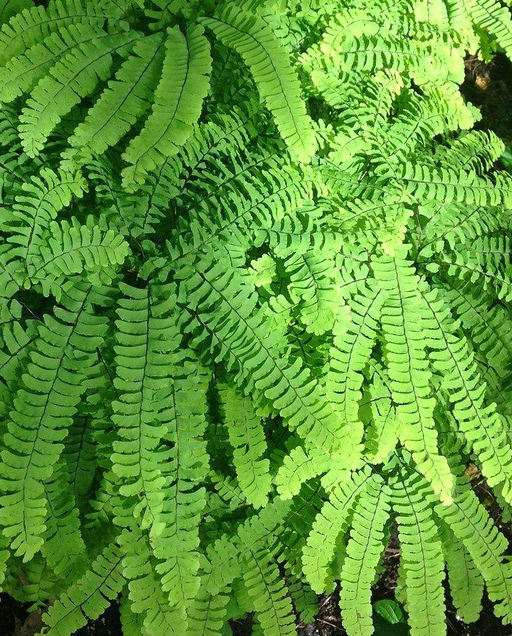 Adiantum- maidenhair fern for making an enclosed bottle garden
