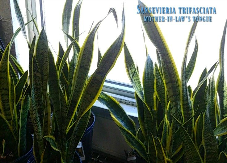 mother-in-law's tongue or Sansevieria trifasciata from the Plant Store